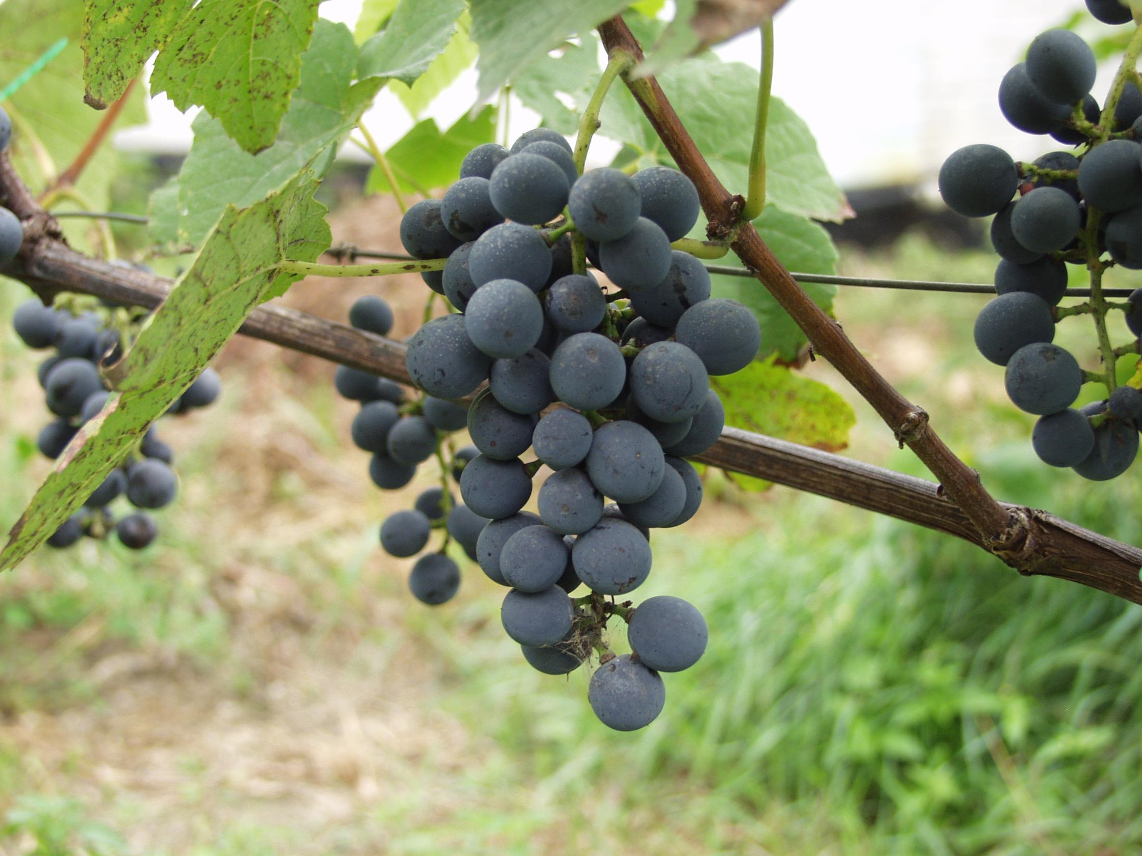 Купить лозу винограда в дубае недвижимость дубай за криптовалюту