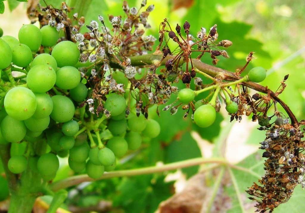 Купить лозу винограда в дубае кипр ларнака недвижимость